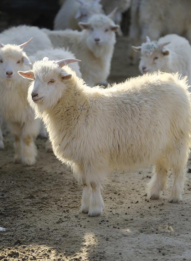 ftc-cashmere_about_cashmere_goatfarm_china_sustainability