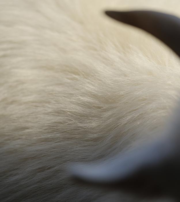 ftc-cashmere_about_cashmere_goat_china_fibre