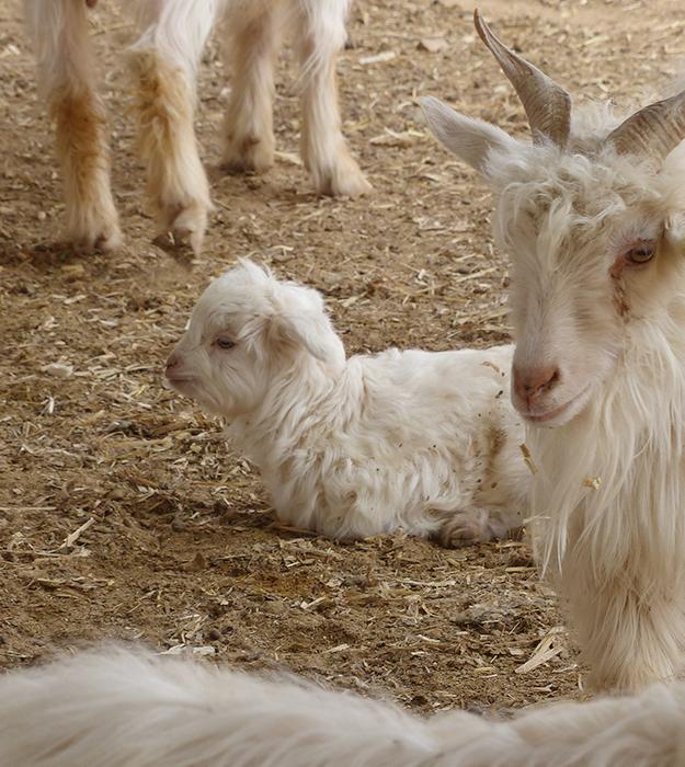 ftc-cashmere_about_lines_babycashmere_goatfarm