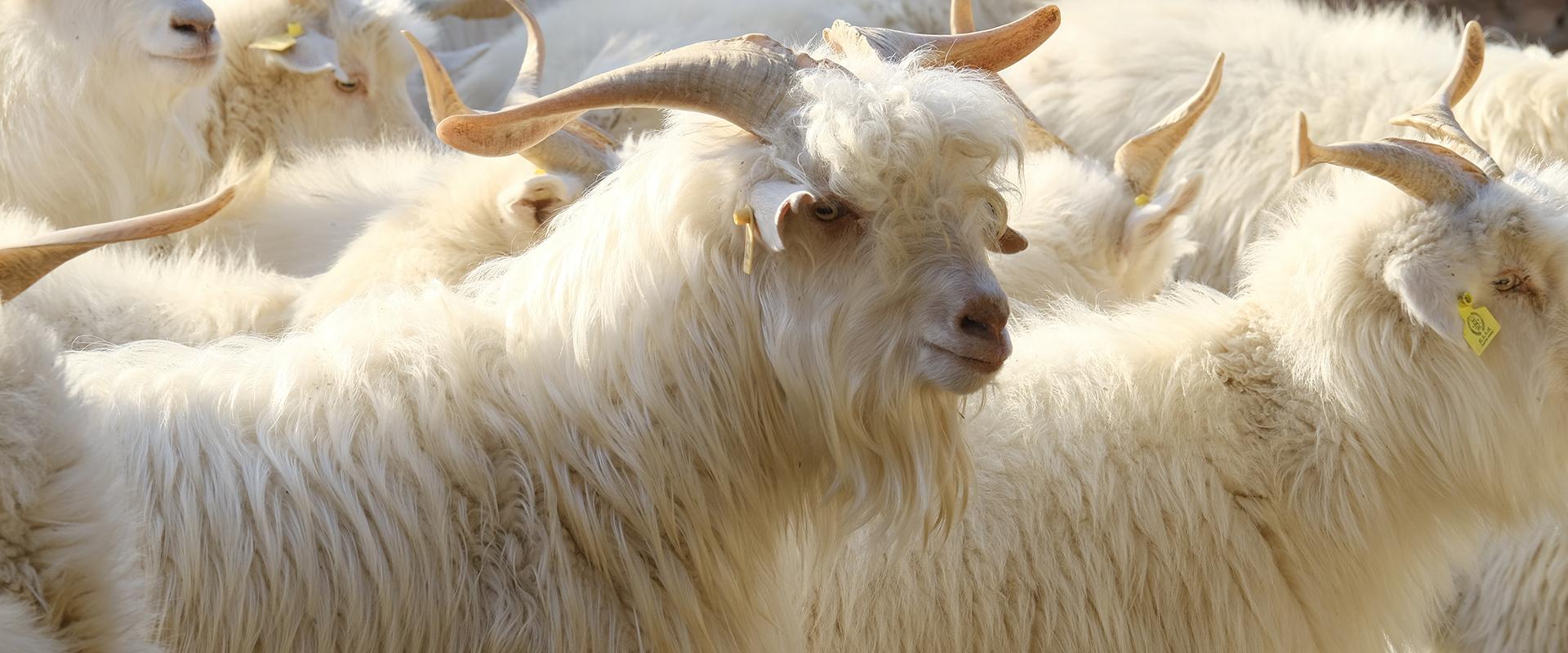 ftc-cashmere_about_lines_goatfarm