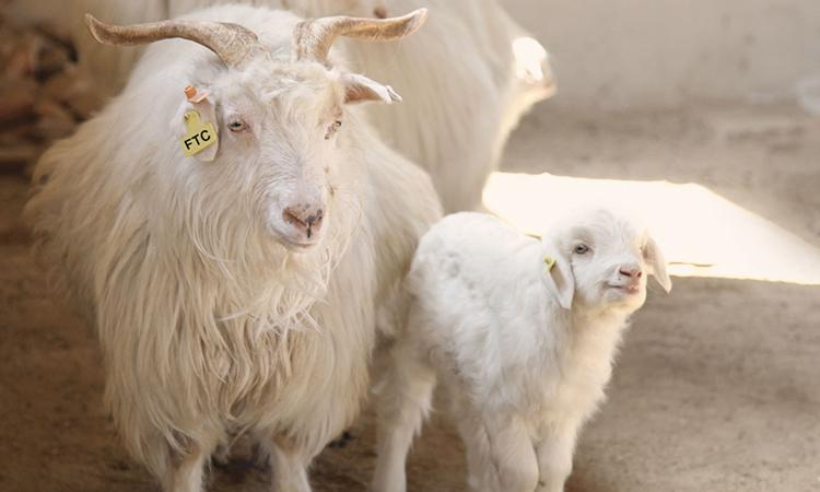ftc-cashmere_responsibility_social_projects_goat_farm